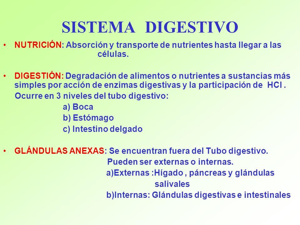 SISTEMA DIGESTIVO NUTRICIÓN: Absorción y transporte de nutrientes ...