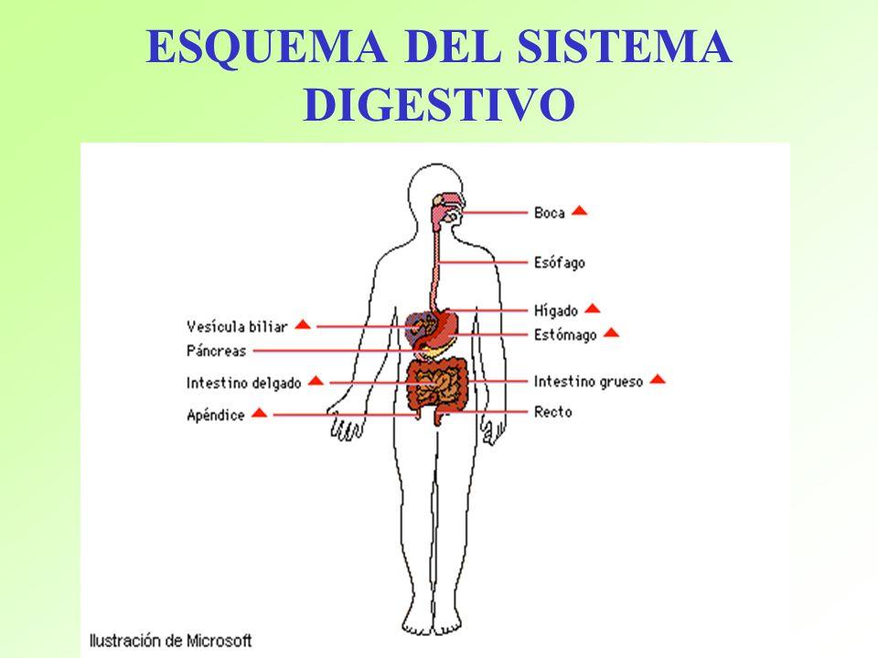 Asombroso El Diagrama Del Sistema Digestivo Bosquejo - Anatomía de ...