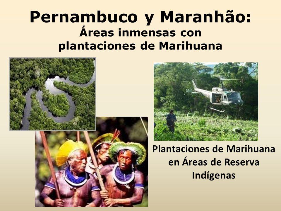 Pernambuco y Maranhão: Áreas inmensas con plantaciones de Marihuana