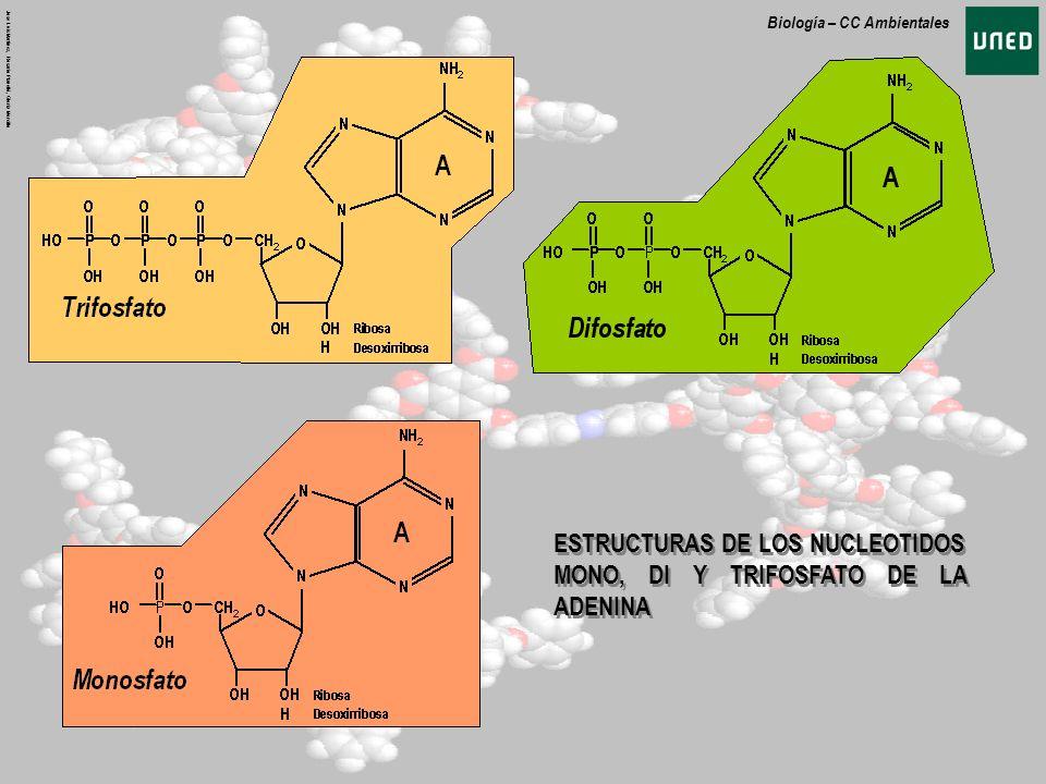 ESTRUCTURAS DE LOS NUCLEOTIDOS MONO, DI Y TRIFOSFATO DE LA ADENINA