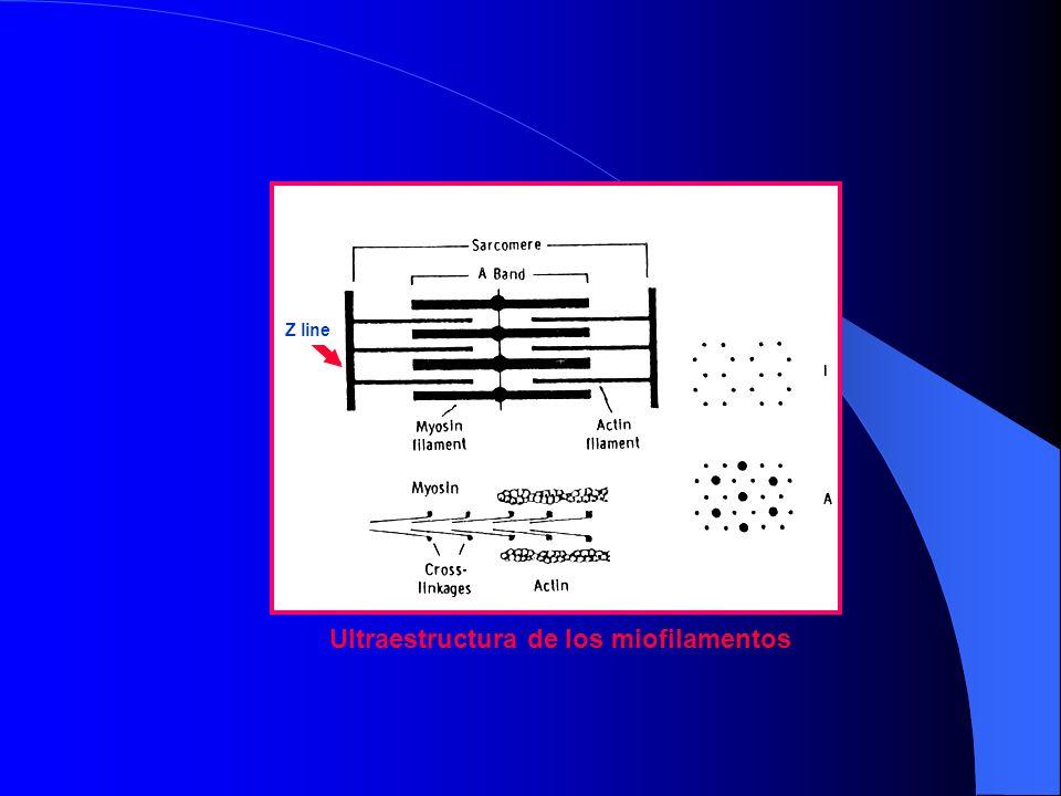 Ultraestructura de los miofilamentos