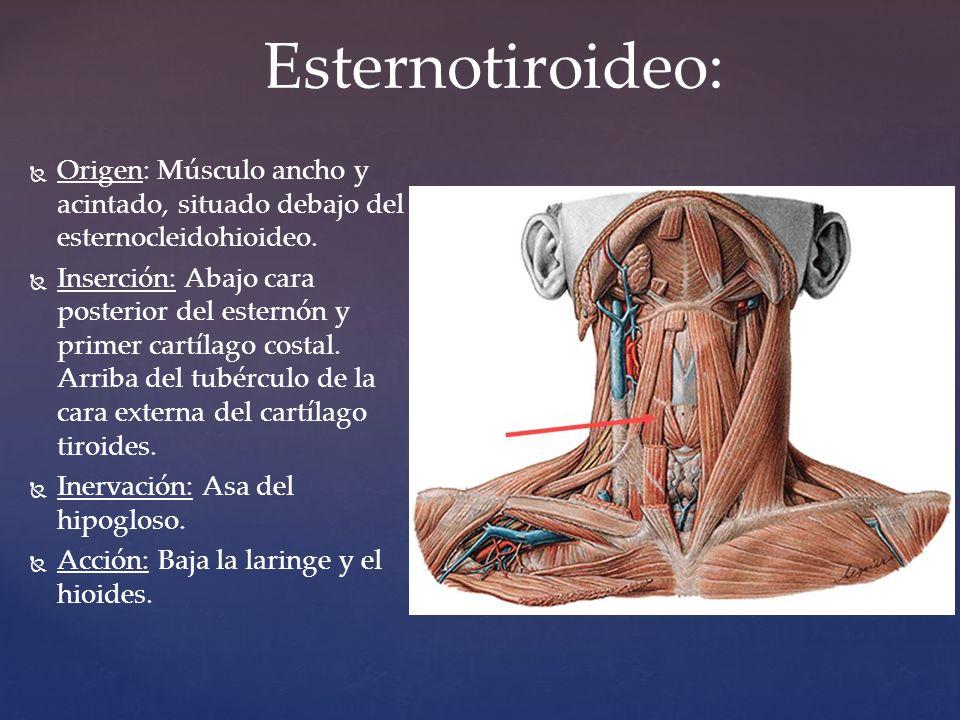 M sculos del cuello frida anyl p rez medrano 1 d ppt for Esternohioideo y esternotiroideo