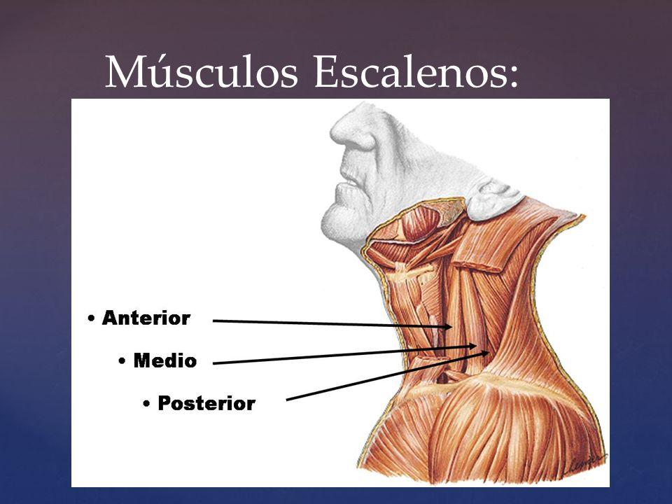 Lujo Músculos Escalenos Anatomía Embellecimiento - Anatomía de Las ...