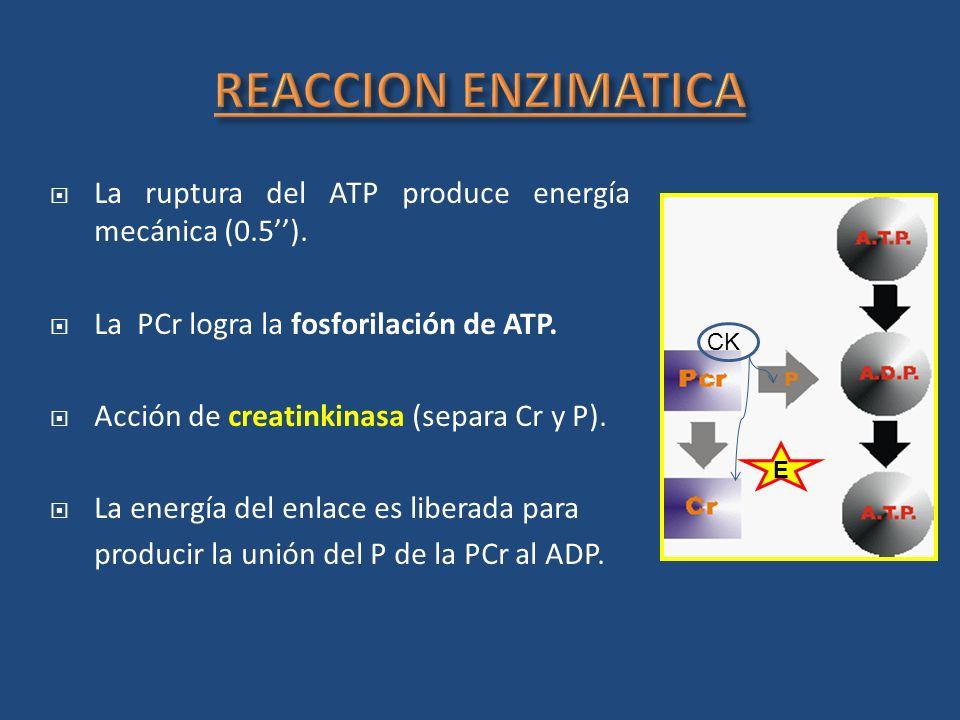 REACCION ENZIMATICA La ruptura del ATP produce energía mecánica (0.5''). La PCr logra la fosforilación de ATP.