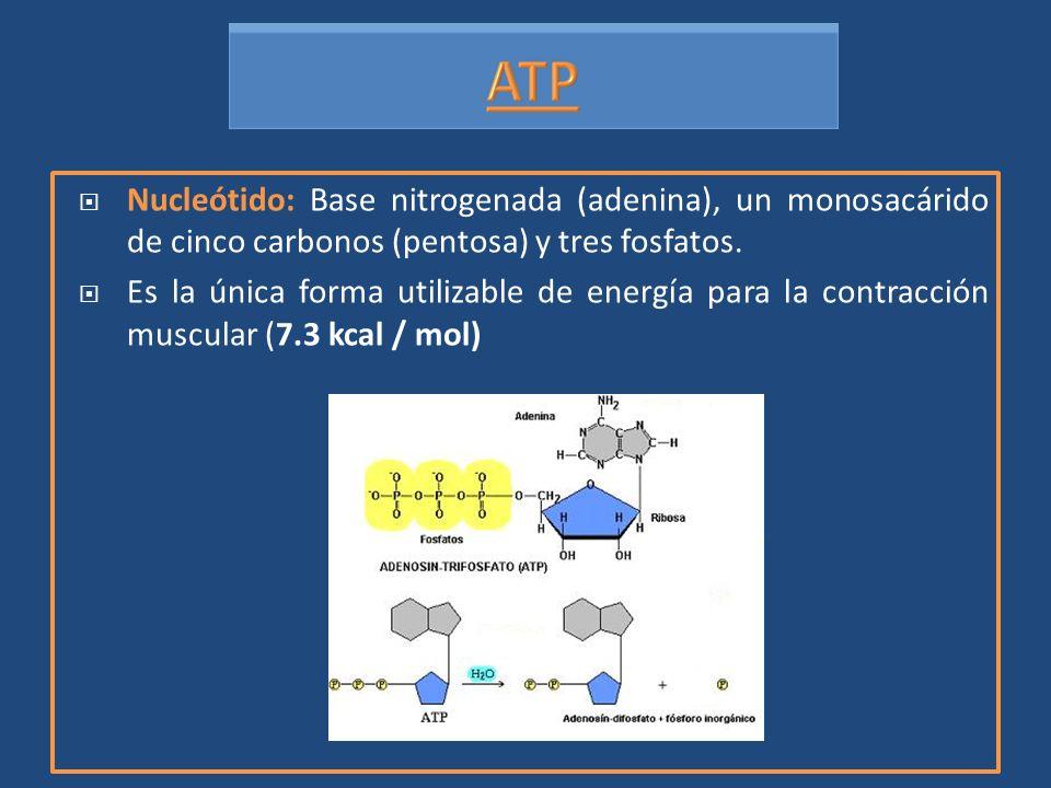 Nucleótido: Base nitrogenada (adenina), un monosacárido de cinco carbonos (pentosa) y tres fosfatos.