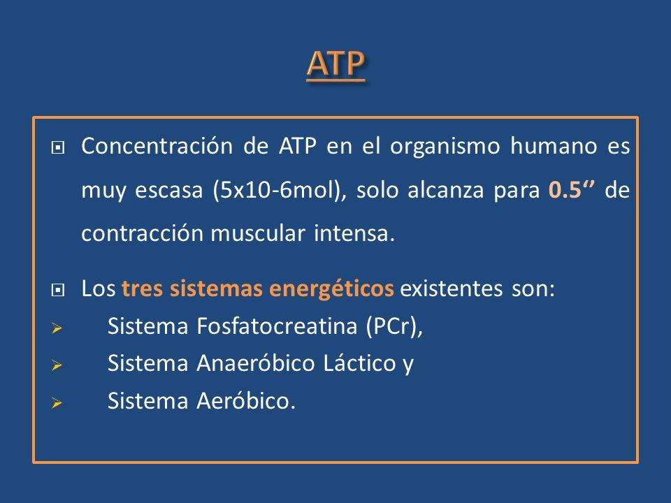 ATP Concentración de ATP en el organismo humano es muy escasa (5x10-6mol), solo alcanza para 0.5'' de contracción muscular intensa.