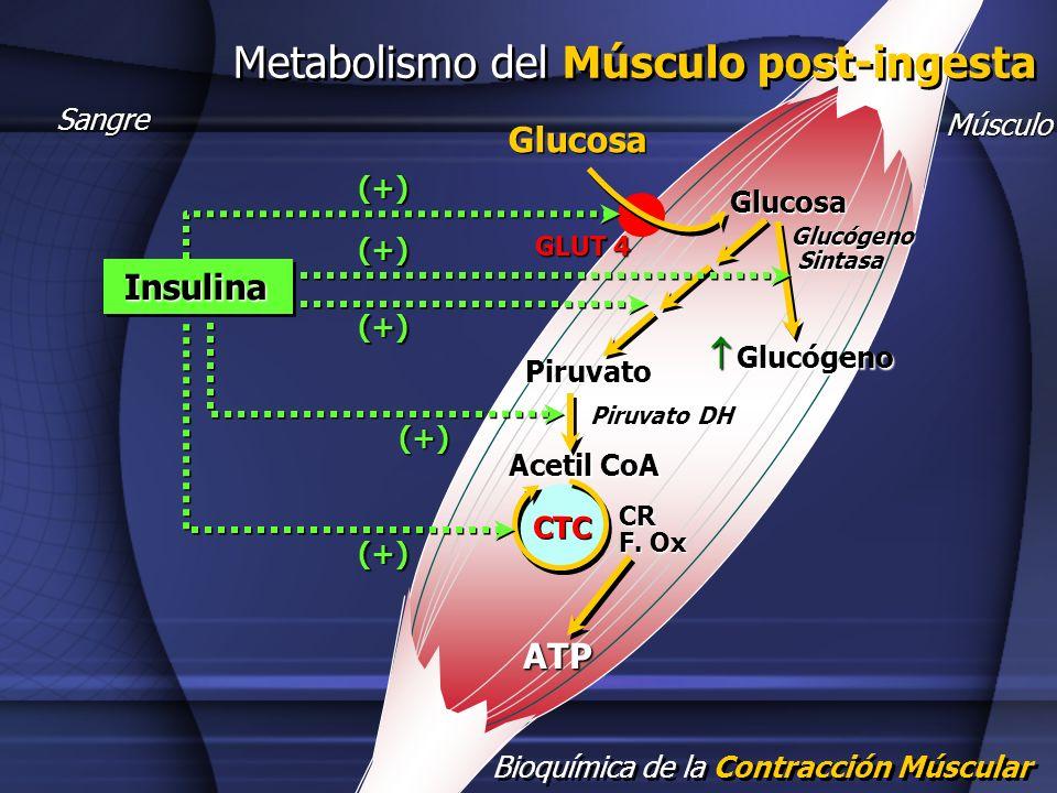 Metabolismo del Músculo post-ingesta