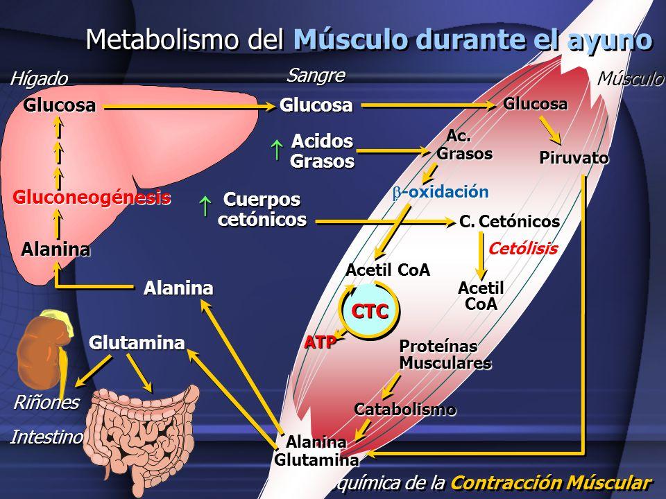 Metabolismo del Músculo durante el ayuno