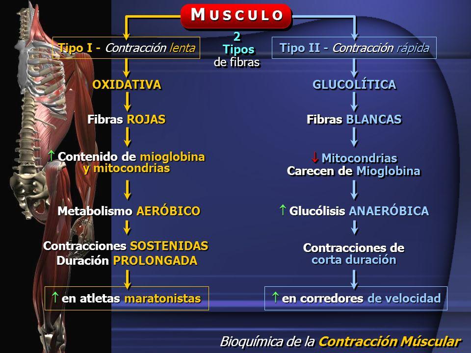 M U S C U L O 2 Tipos de fibras Tipo I - Contracción lenta