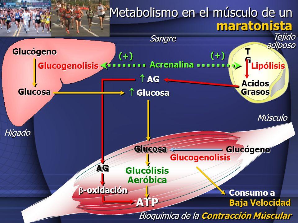Metabolismo en el músculo de un maratonista
