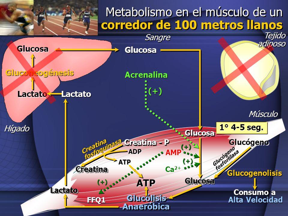 Glucógeno fosforlilasa Glucólisis Anaeróbica
