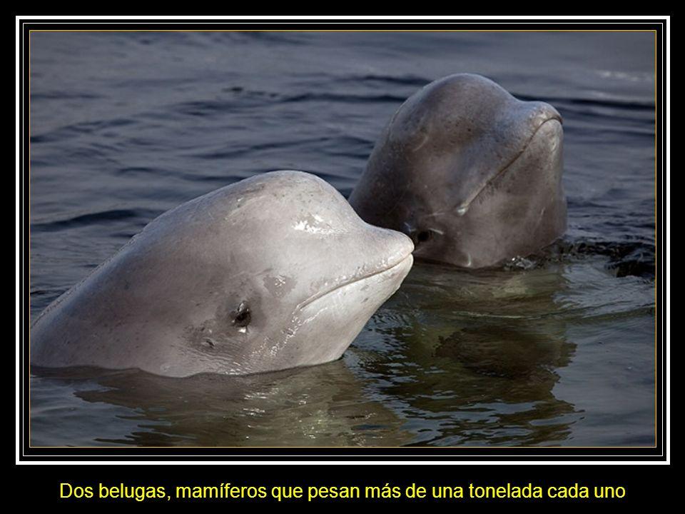 Dos belugas, mamíferos que pesan más de una tonelada cada uno