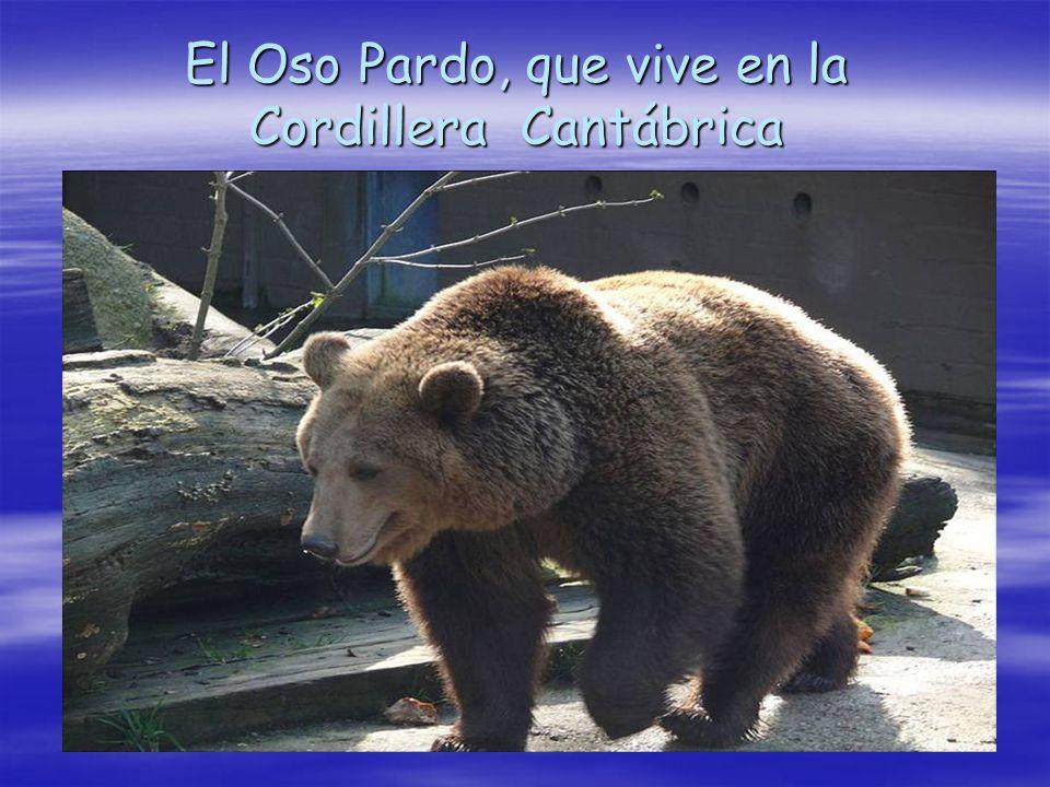 El Oso Pardo, que vive en la Cordillera Cantábrica