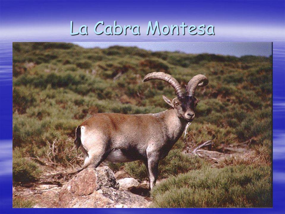 La Cabra Montesa