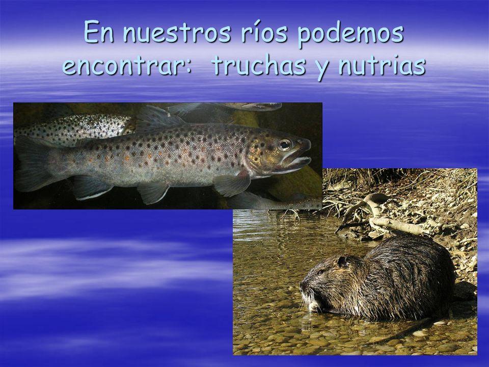En nuestros ríos podemos encontrar: truchas y nutrias
