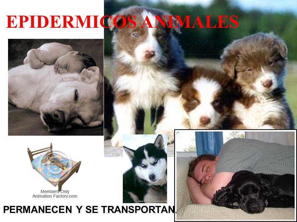 EPIDERMICOS ANIMALES PERMANECEN Y SE TRANSPORTAN.