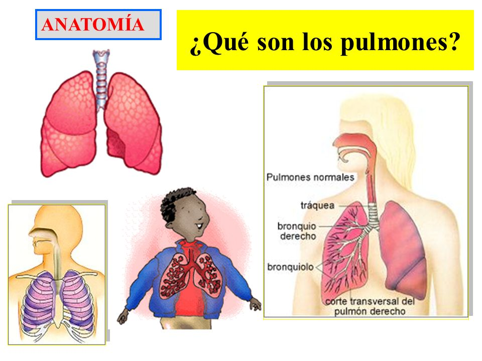 ANATOMÍA ¿Qué son los pulmones