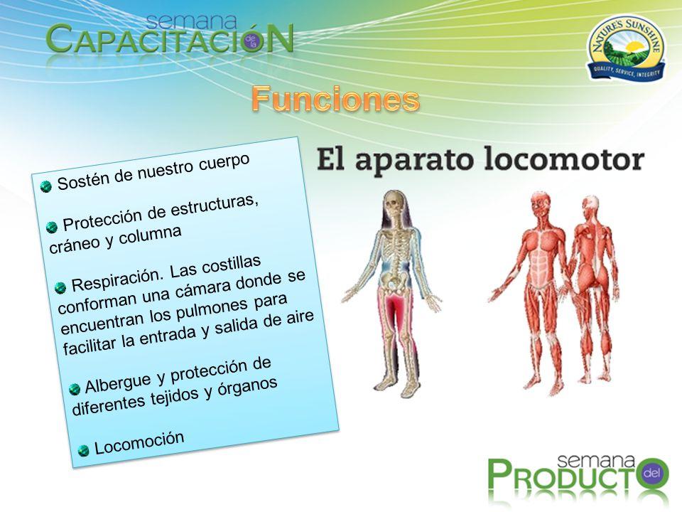 Funciones Sostén de nuestro cuerpo