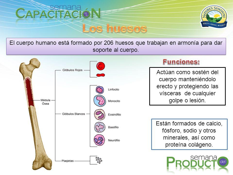 Los huesos El cuerpo humano está formado por 206 huesos que trabajan en armonía para dar soporte al cuerpo.