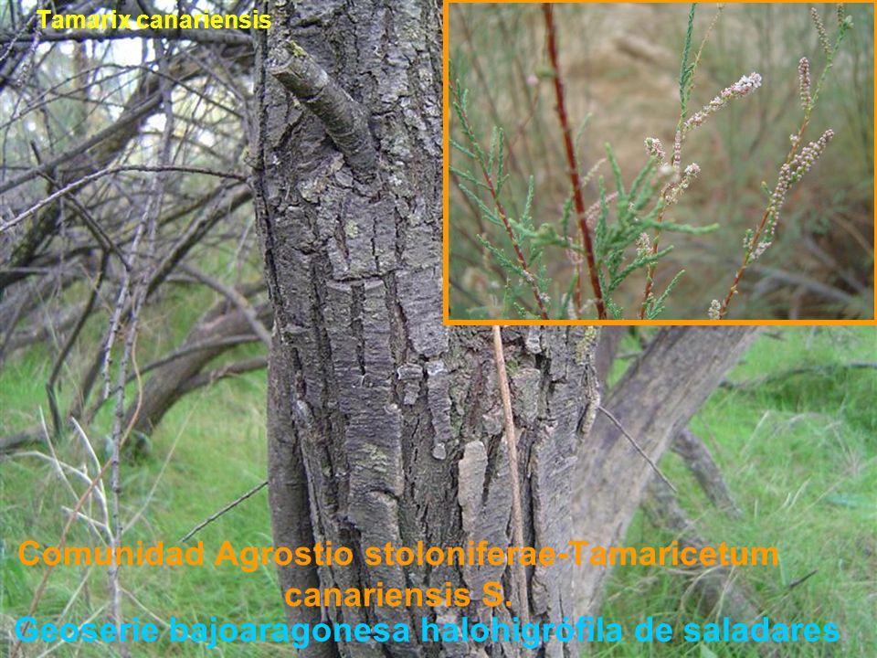 Comunidad Agrostio stoloniferae-Tamaricetum canariensis S.