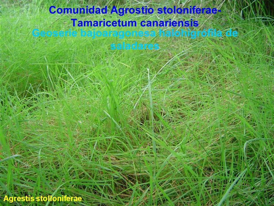 Comunidad Agrostio stoloniferae-Tamaricetum canariensis