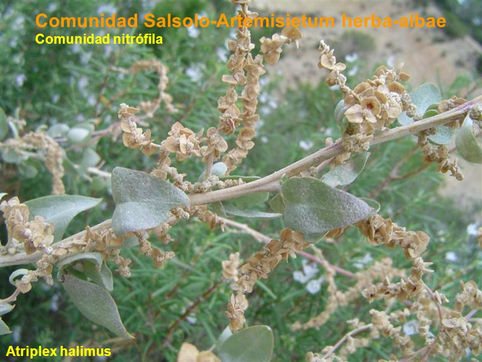 Comunidad Salsolo-Artemisietum herba-albae