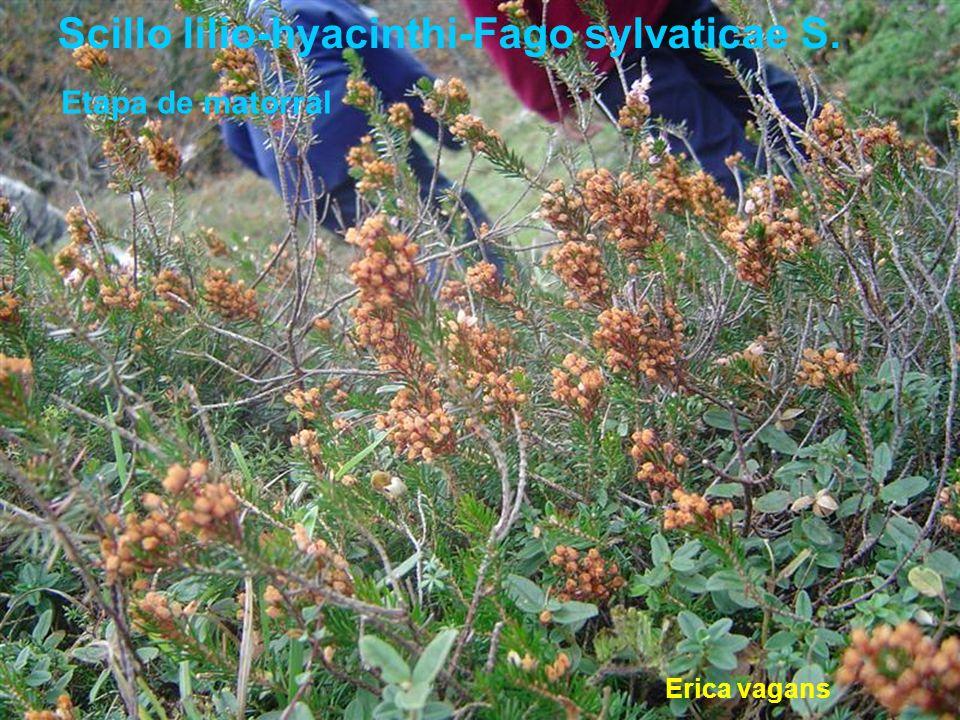 Scillo lilio-hyacinthi-Fago sylvaticae S.