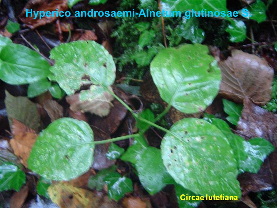 Hyperico androsaemi-Alnetum glutinosae S.