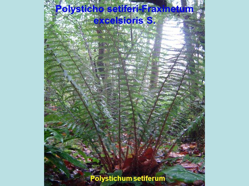Polysticho setiferi-Fraxinetum excelsioris S.