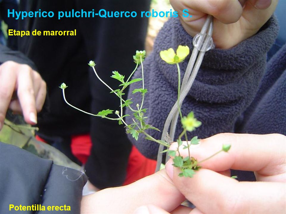 Hyperico pulchri-Querco roboris S.