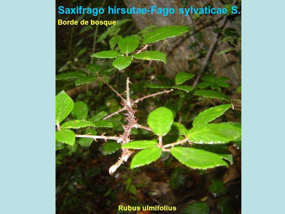 Saxifrago hirsutae-Fago sylvaticae S.