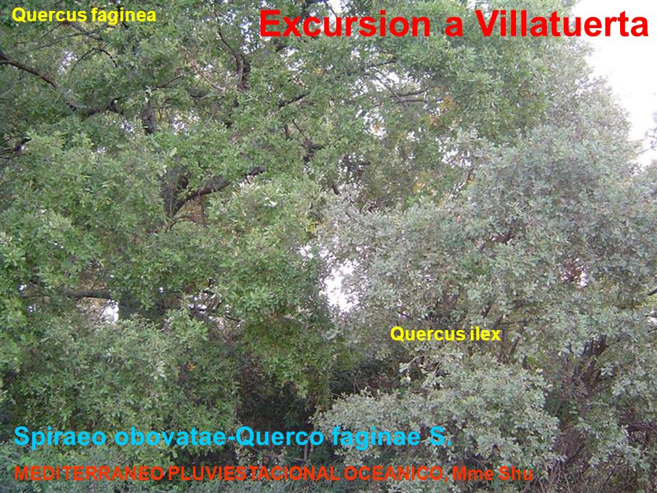 Spiraeo obovatae-Querco faginae S.