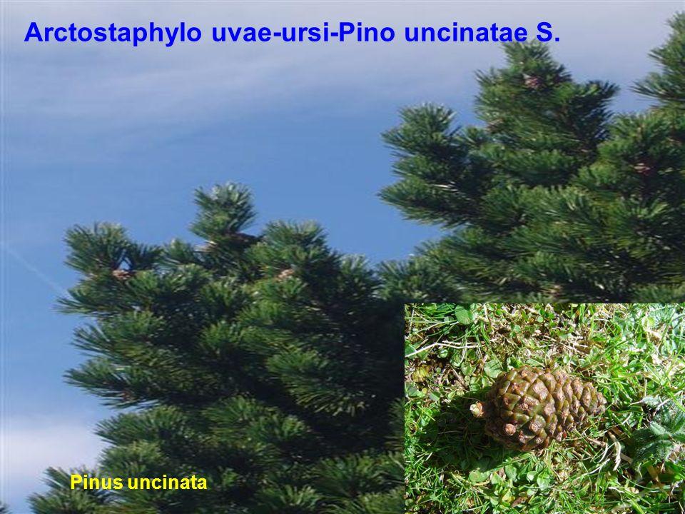 Arctostaphylo uvae-ursi-Pino uncinatae S.
