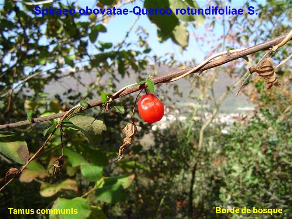 Spiraeo obovatae-Querco rotundifoliae S.