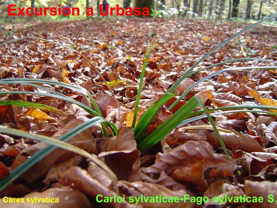 Carici sylvaticae-Fago sylvaticae S.