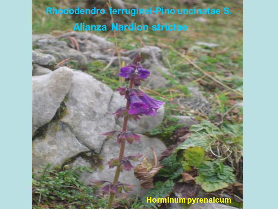 Rhododendro ferruginei-Pino uncinatae S.