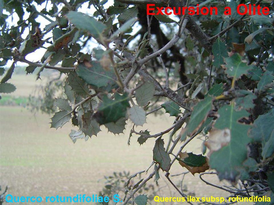 Querco rotundifoliae S.