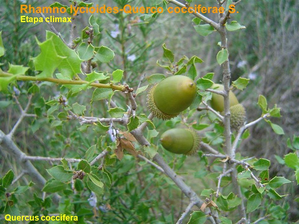 Rhamno lycioides-Querco cocciferae S.