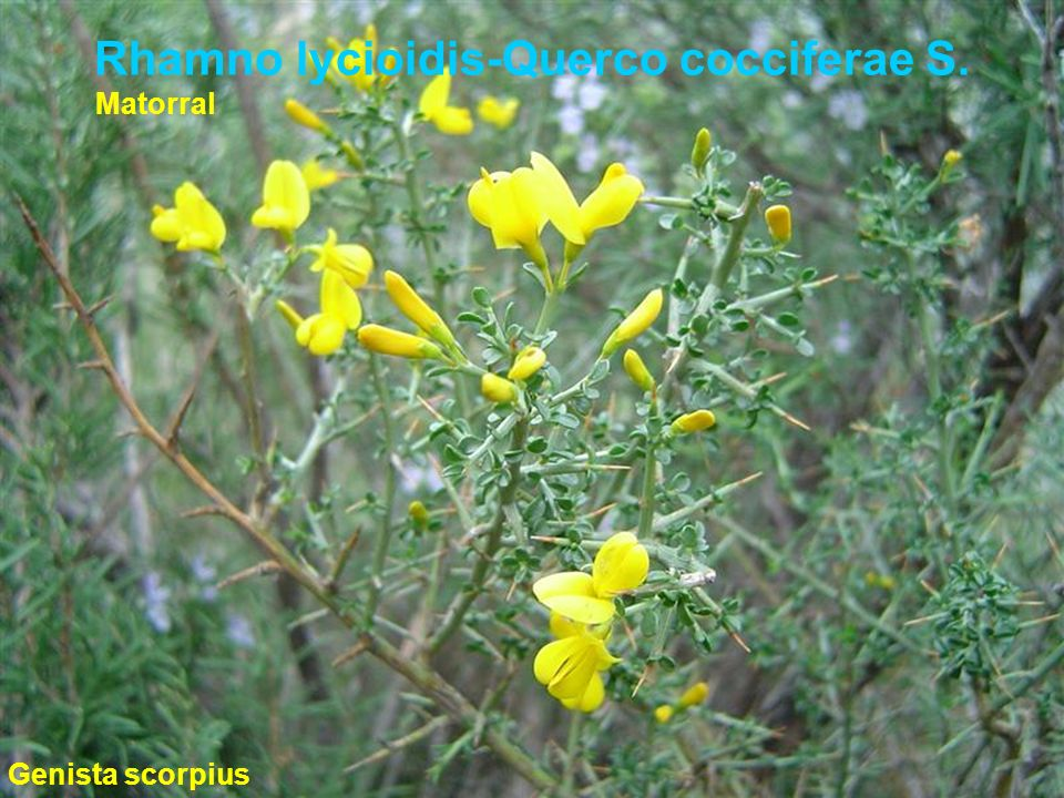 Rhamno lycioidis-Querco cocciferae S.
