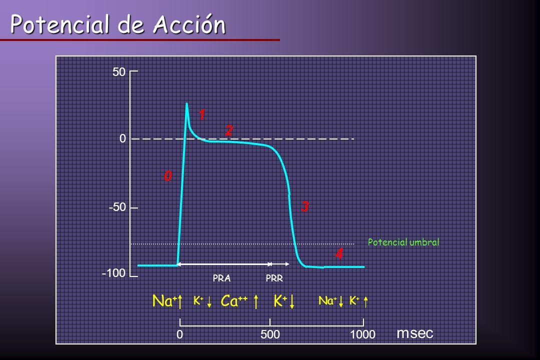 Potencial de Acción msec Na+ Ca++ mV 1 2 3 4 500 1000 50 -50 -100 K+
