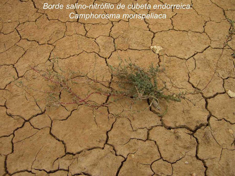 Borde salino-nitrófilo de cubeta endorreica: Camphorosma monspeliaca