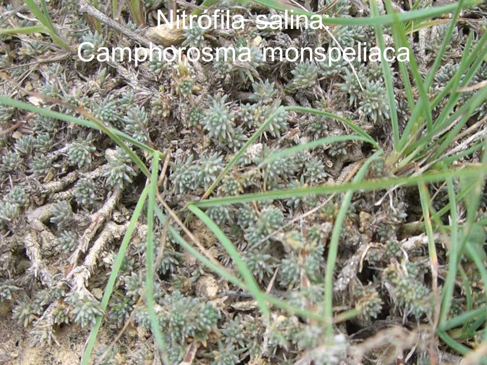 Nitrófila salina: Camphorosma monspeliaca