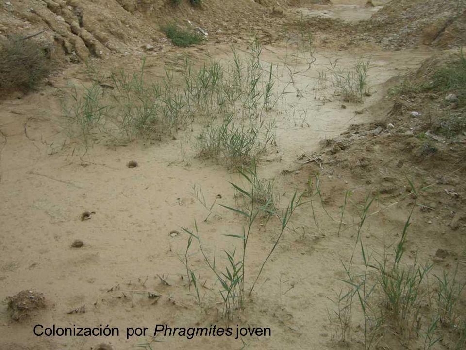 Colonización por Phragmites joven