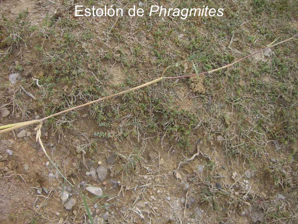 Estolón de Phragmites