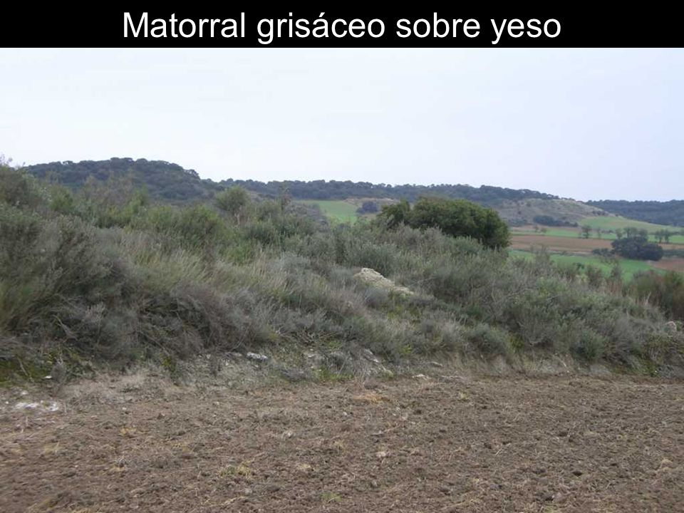 Matorral grisáceo sobre yeso