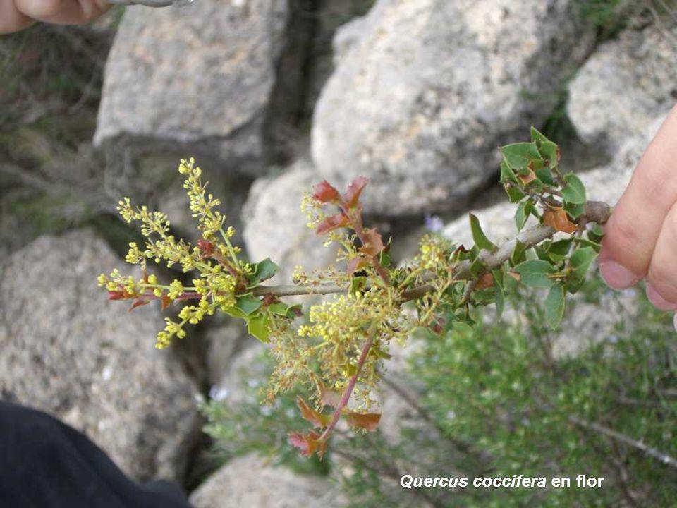 Quercus coccifera en flor