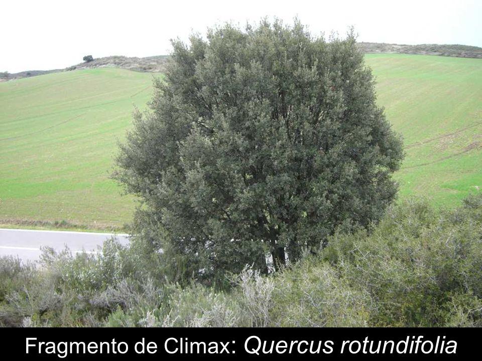 Fragmento de Climax: Quercus rotundifolia
