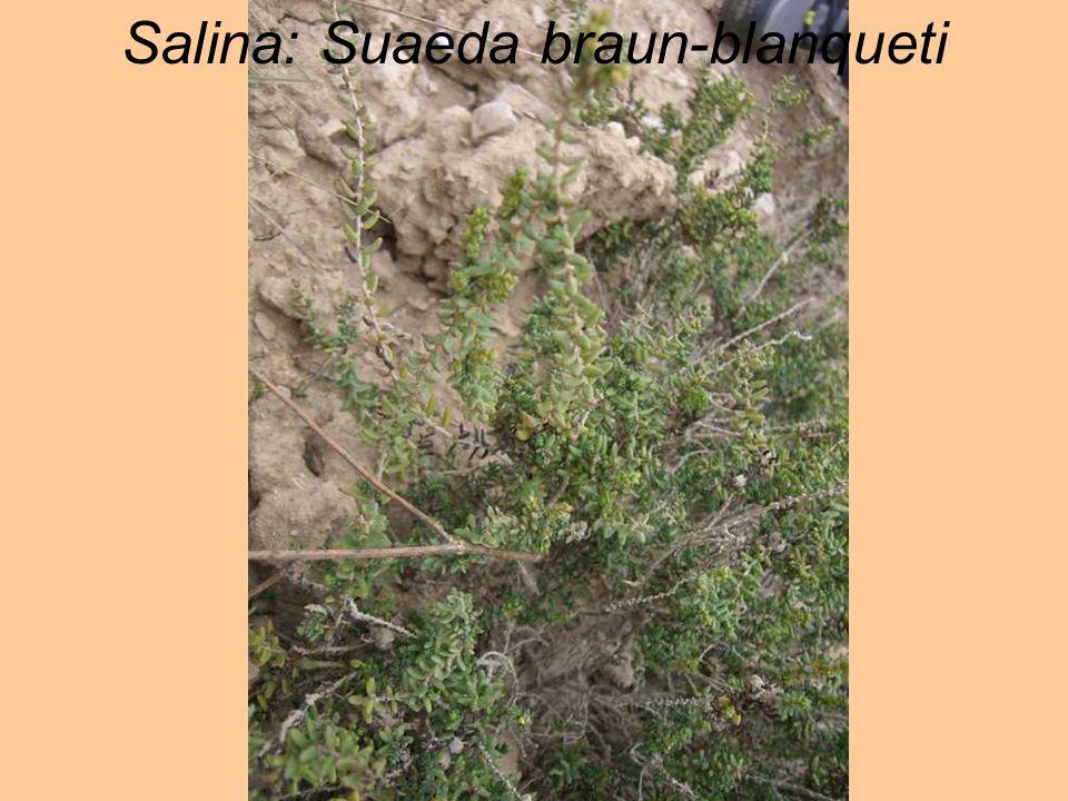 Salina: Suaeda braun-blanqueti