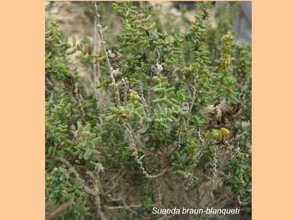 Suaeda braun-blanqueti
