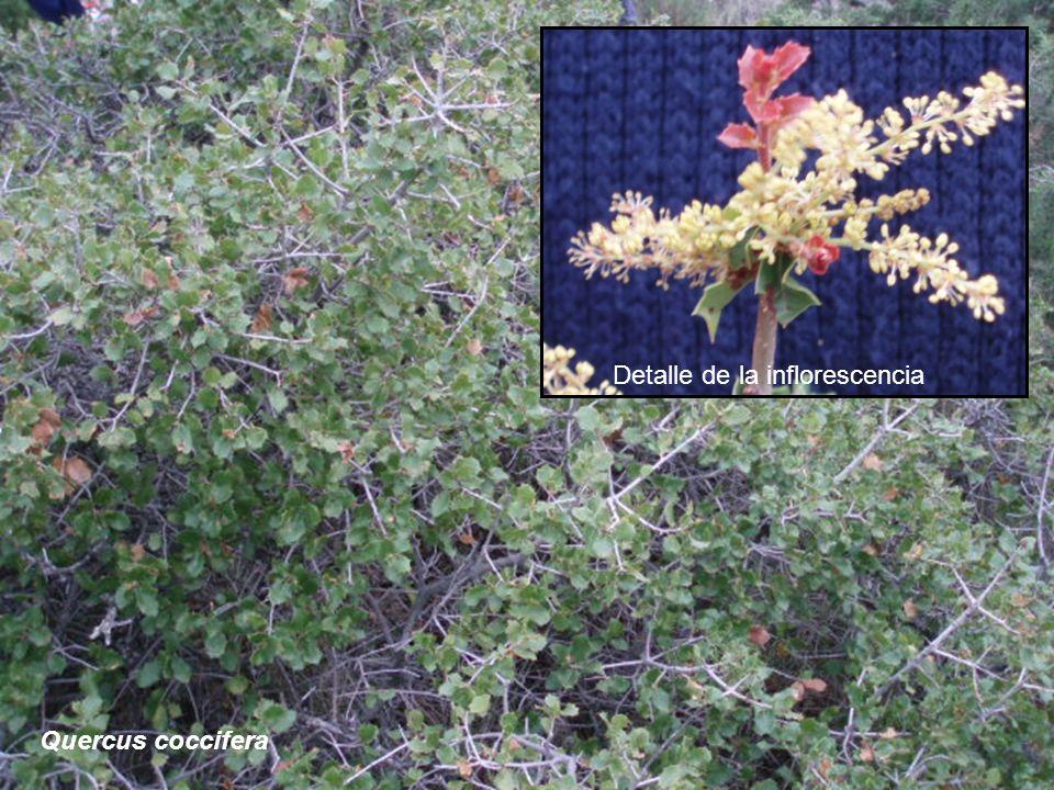 Detalle de la inflorescencia